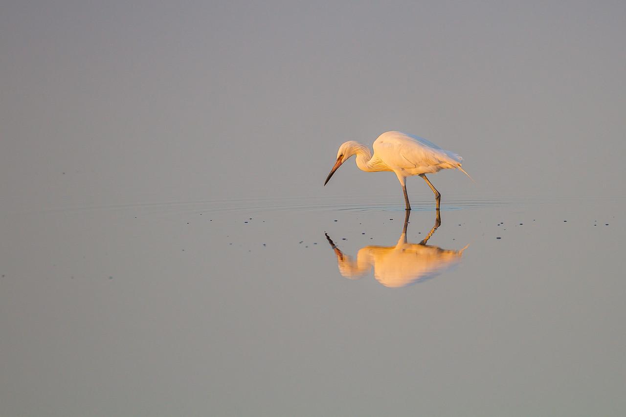 Reddish Egret (white morph)  at Merritt Island NWR