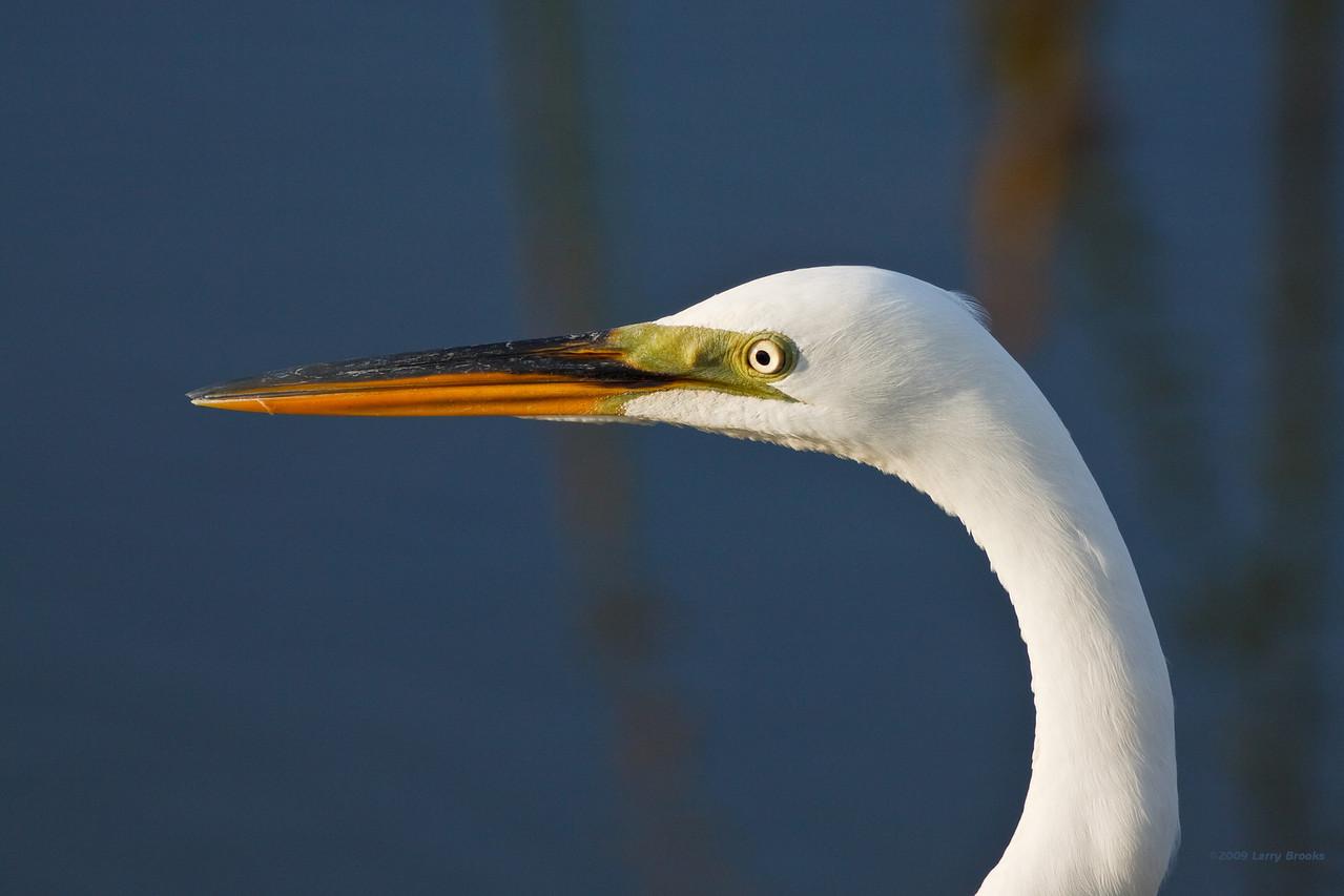 Great Egret at Viera Wetlands