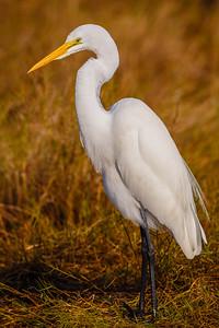 Great Egret, Merritt Island NWR