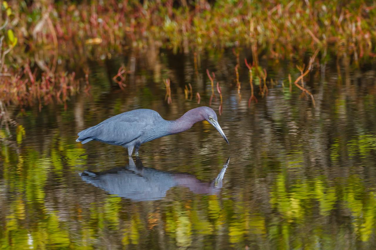Little Blue Heron, Merrott Island NWR