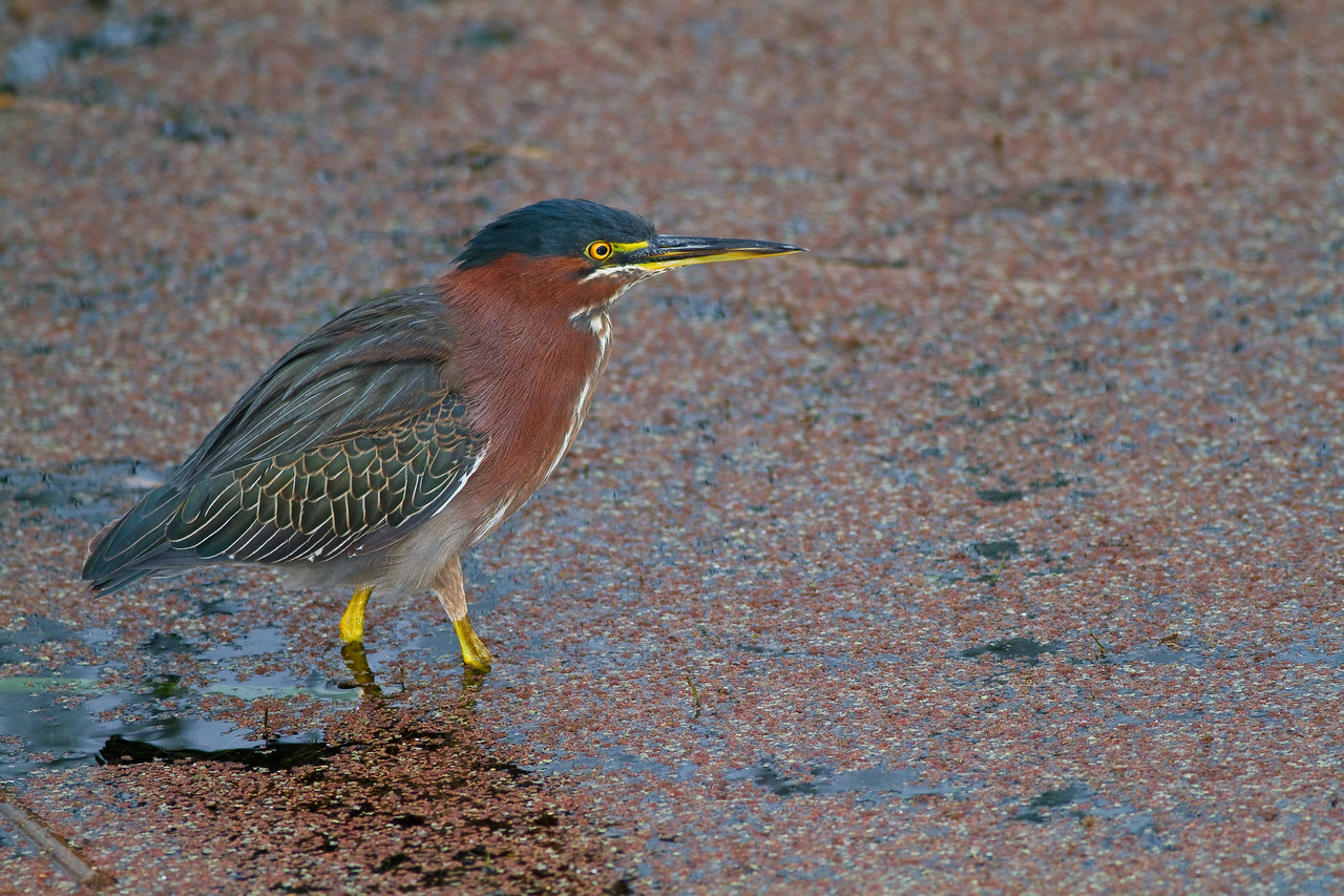Green Heron at Viera Wetlands