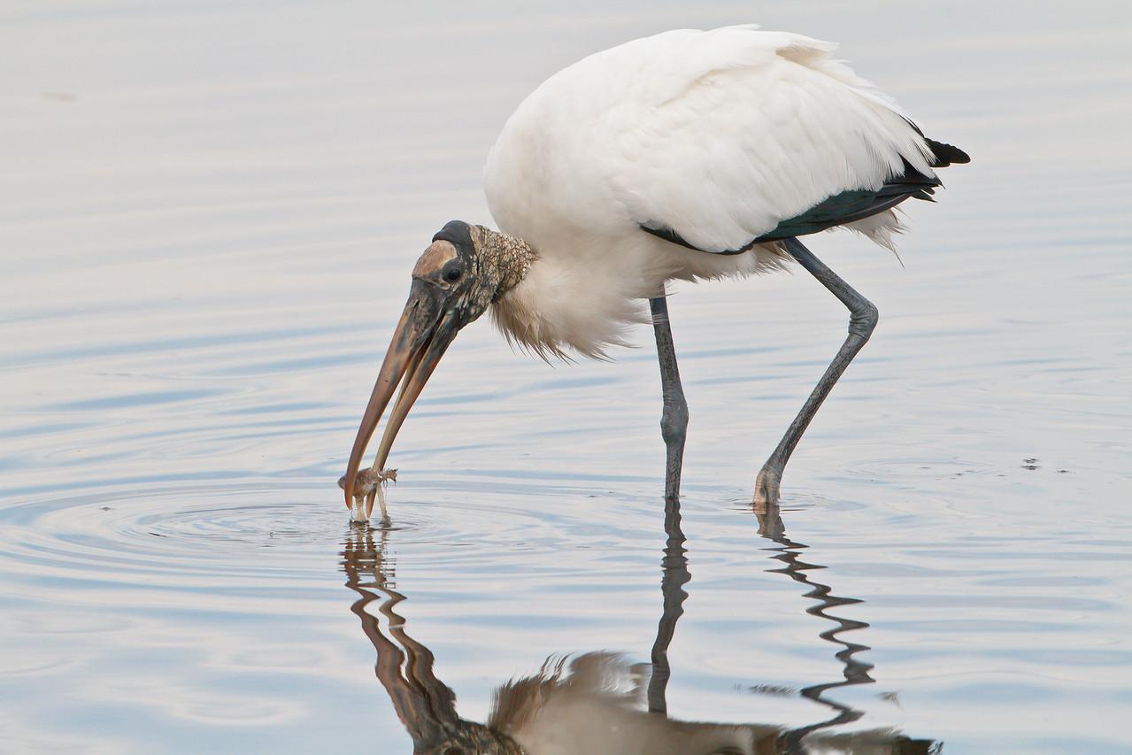 Wood Stork, Merritt Island NWR
