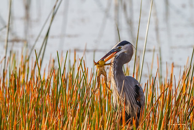 Great Blue Heron, Viera Wetlands