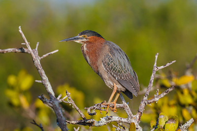 Green Heron, Merritt Island National Wildlife Refuge