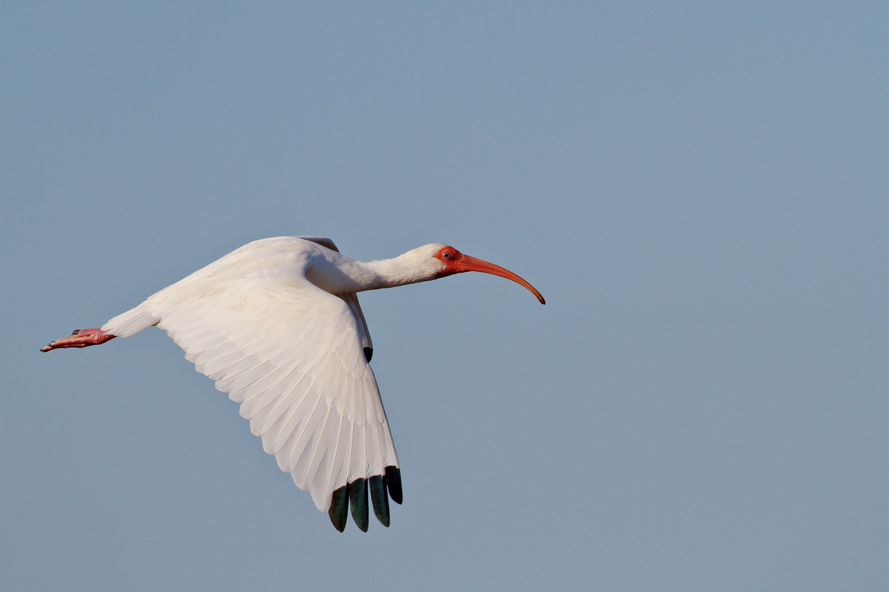 White Ibis in flight over Merritt Island NWR