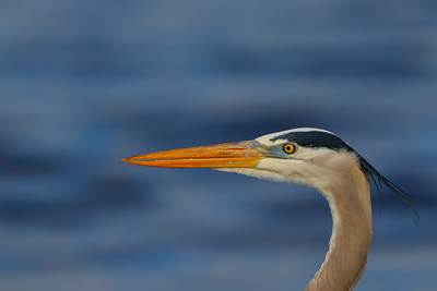 Great Blue Heron, Myakka River SP