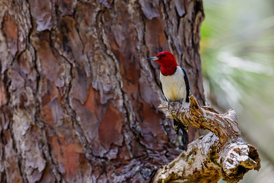 Red-Headed Woodpecker, Osceola National Forest
