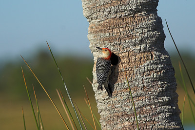 Red-bellied Woodpecker at Viera Wetlands