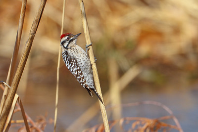 Ladder-backed Woodpecker from Bosque del Apache NWR in New Mexico