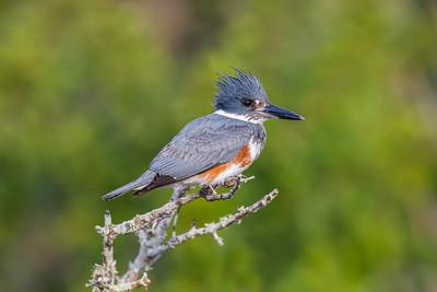 Belted Kingfisher, Merritt Island NWR