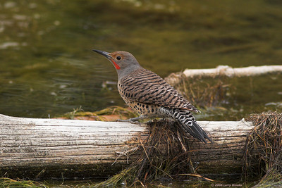 Northern Flicker at Newberry National Volcanic Monument in central Oregon