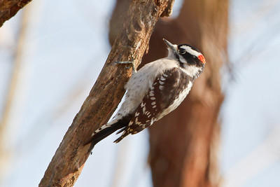 Downy Woodpecker, Oakland Nature Preserve