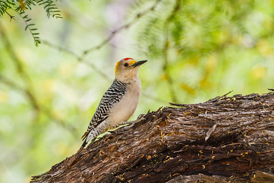 Golden-fronted Woodpecker, Big Bend National Park (Texas)