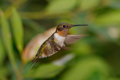 Ruby-throated Hummingbird at Merritt Island NWR
