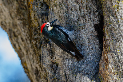 Acorn Woodpecker, Pinnacles National Park (California)