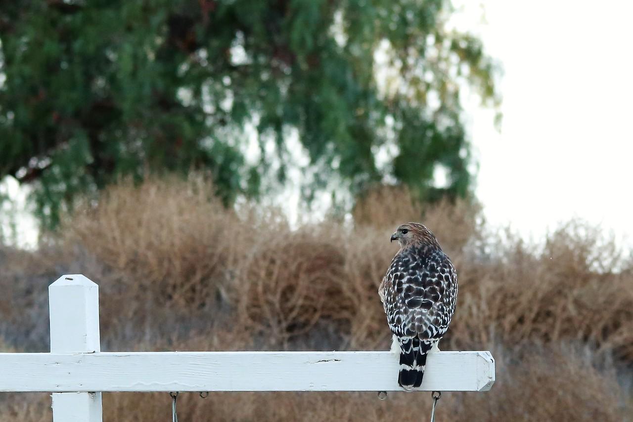 hawk staring at me.