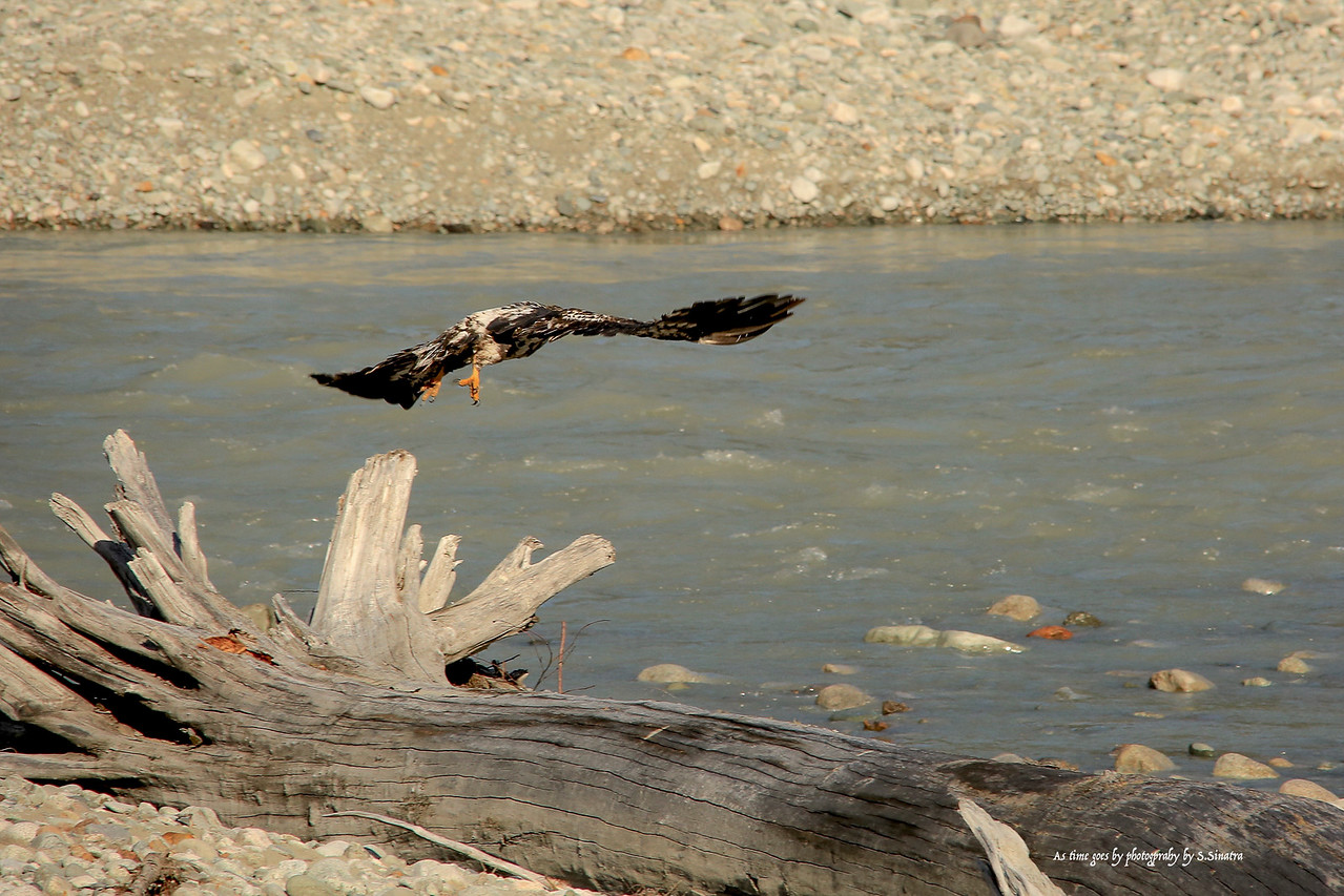 young bald eagle taking off