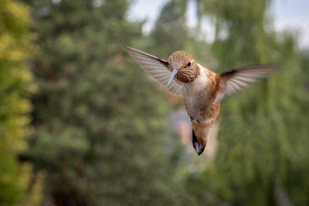 IMAGE: https://photos.smugmug.com/Animals/Birds-of-Ashland-Oregon/i-QqkNvVJ/0/f35dc829/XL/BPR67641-Edit-Edit-XL.jpg