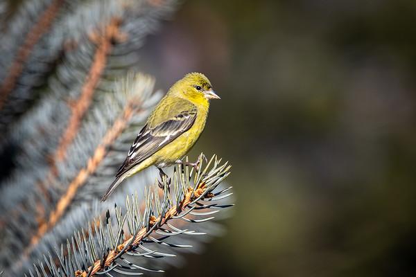 Birds of Ashland, Oregon