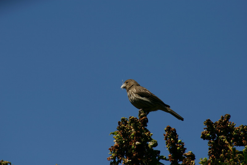 House Finch (44)