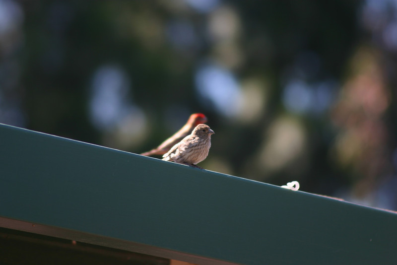 House Finch (47)