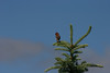 House Finch (6)