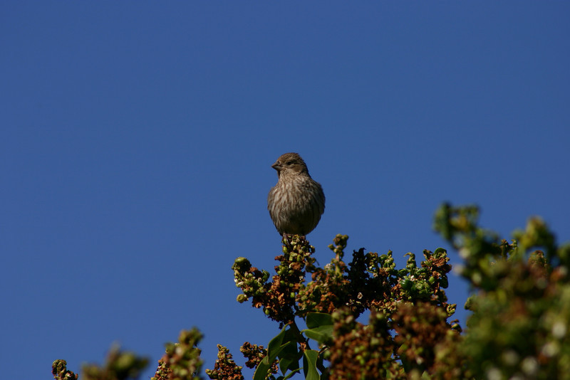 House Finch (25)