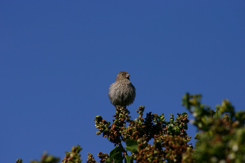 House Finch (22)