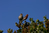 House Finch (34)