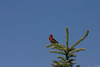 House Finch (12)