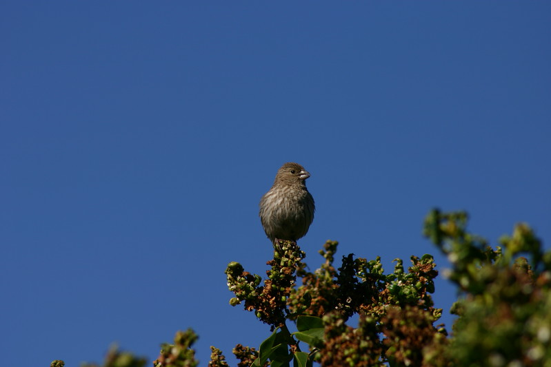 House Finch (20)