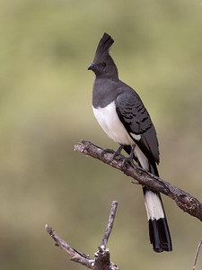 White-bellied Go-away-bird (Corythaixoides leucogaster)