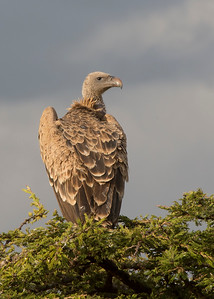 Ruppell's Griffon Vulture (Gyps rueppellii)