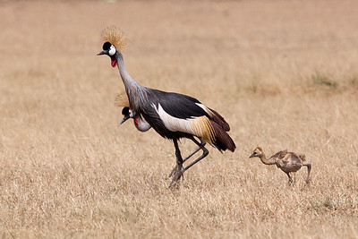 Family of Grey Crowned Cranes (Balearica regulorum)