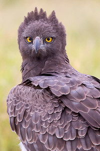 Cross-eyed Martial Eagle (Polemaetus bellicosus)