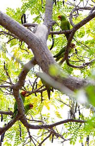 Wild Conures of Kona