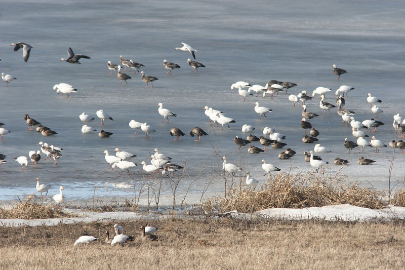 Snow geese, Greater White-Fronted Geese, and Snow Geese Blue Phase (white heads, gray bodies).