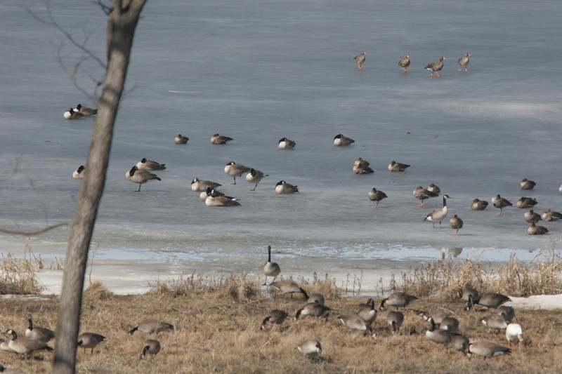 Canadian geese, a snow goose, and four Great White-Fronted Geese in the top right.