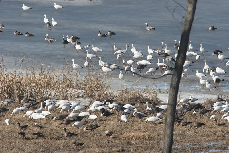Snow geese (white), Greater White-Fronted Geese (in front, dark bodies), Snow Geese Blue Phase (white heads, gray bodies) and a few Canadian Geese in the middle top.