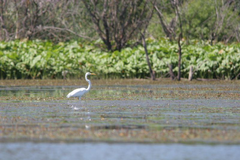 Egret on our lake in Nebraska.