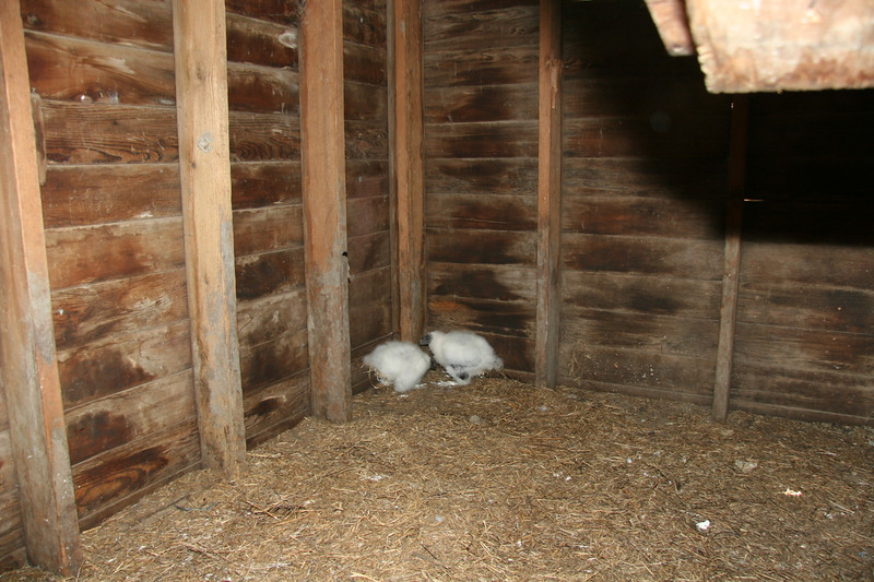 Vulture chicks in our barn. They are about 12 inches tall. They smell very bad!