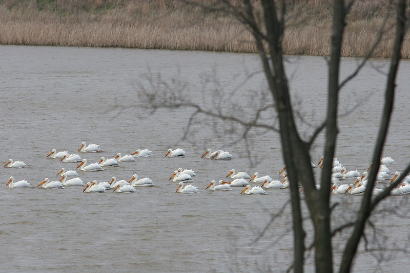 Pelicans on parade.