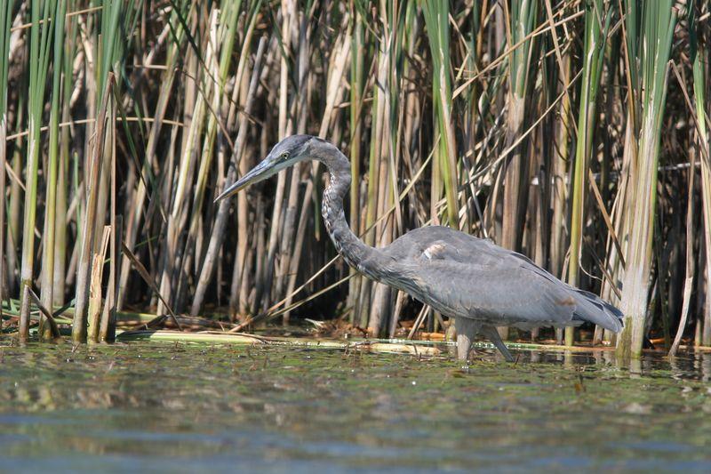 Blue Heron on our lake in Nebraska.