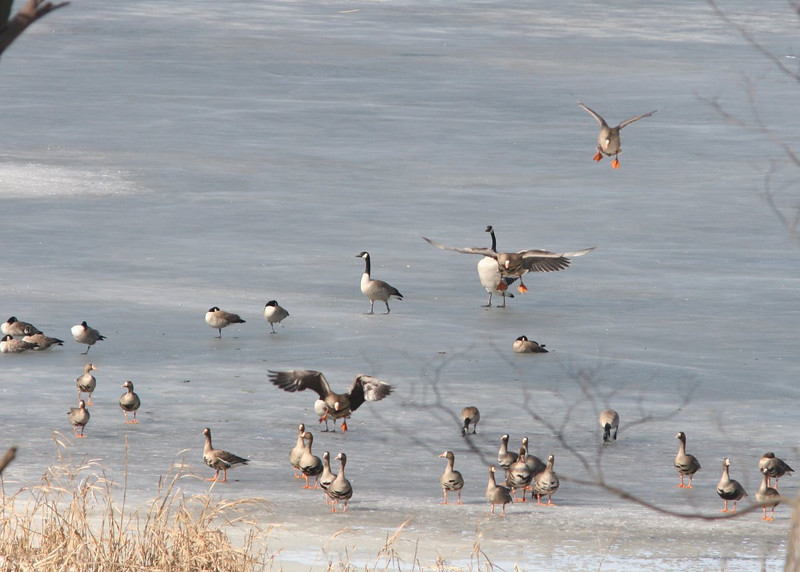 Coming in for a landing. Greater White-Fronted Geese.