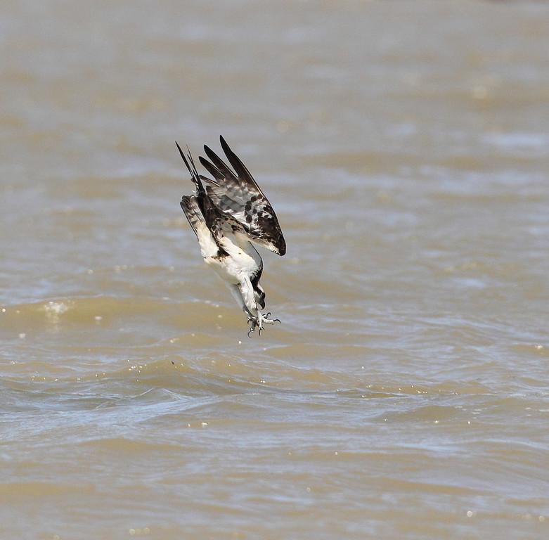IMAGE: http://www.mikeswildlife.com/Animals/Birds-of-Prey-1/086/1261928223_ZM3vWgb-XL.jpg