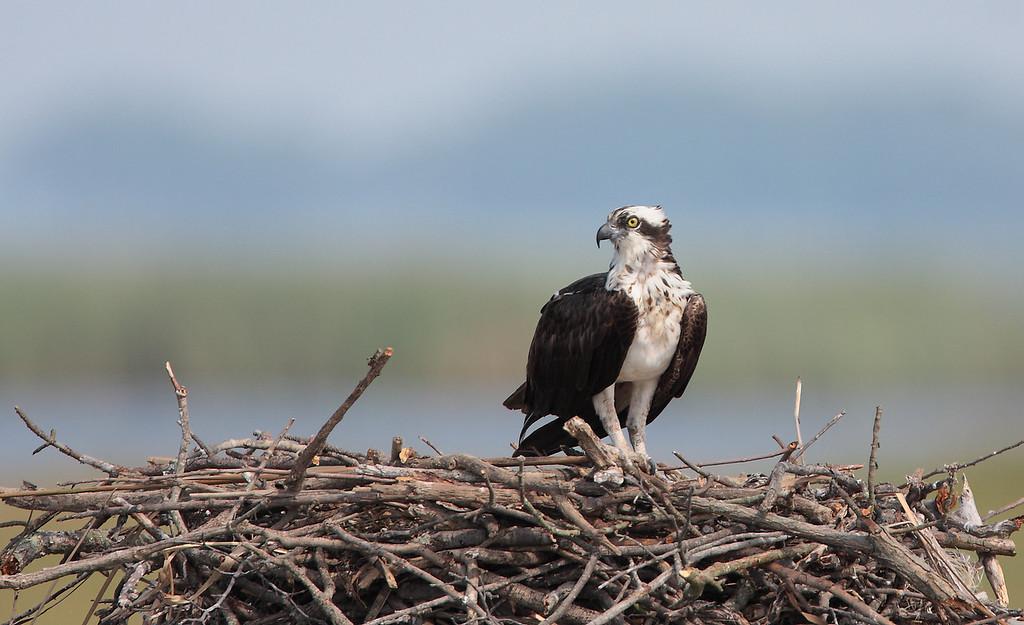 IMAGE: http://www.mikeswildlife.com/Animals/Birds-of-Prey-1/MG3607/946695557_kQ2yN-XL.jpg