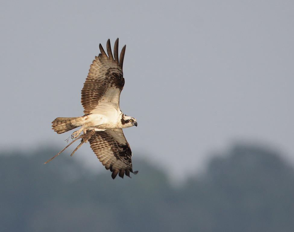 IMAGE: http://www.mikeswildlife.com/Animals/Birds-of-Prey-1/MG3857/946695520_FrFRj-XL.jpg