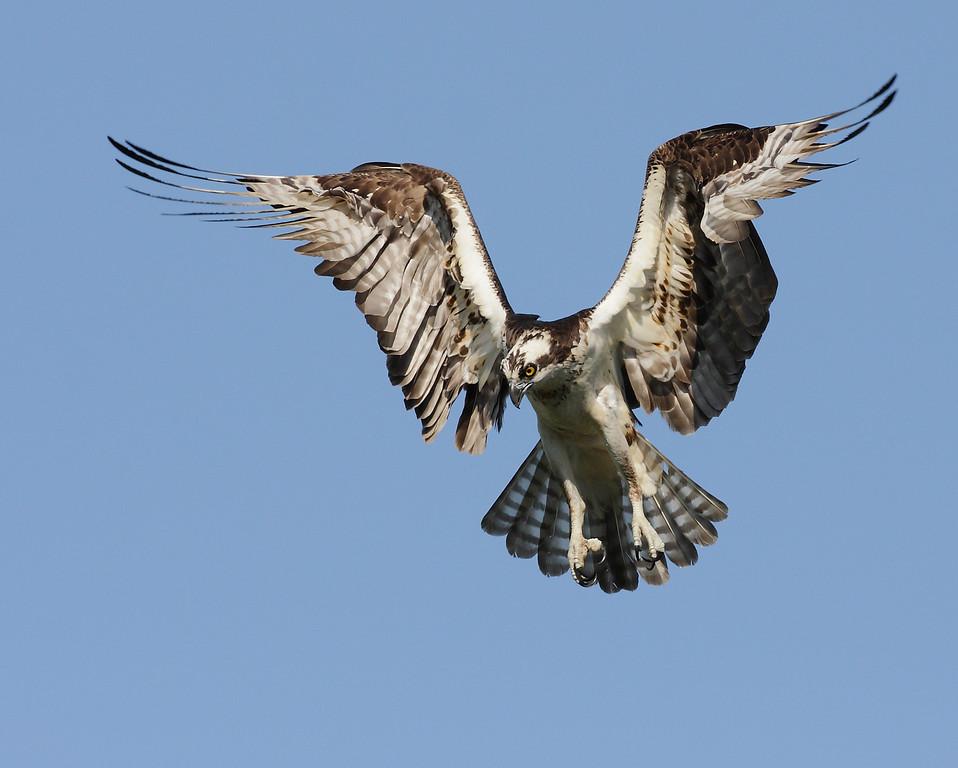 IMAGE: http://www.mikeswildlife.com/Animals/Birds-of-Prey-1/MG8093/866847828_cPFxN-XL.jpg