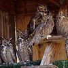 "Great-horned owls gather up for a group shot.<br /> The Birds of Prey Foundation of Broomfield held an open house on Saturday May 1, 2010.<br /> For more photos , go to  <a href=""http://www.dailycamera.com"">http://www.dailycamera.com</a><br /> Cliff Grassmick / May 1, 2010"