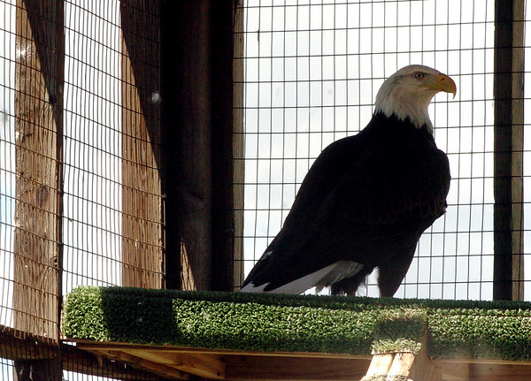 """Adam the bald eagle turns to see his fans.<br /> The Birds of Prey Foundation of Broomfield held an open house on Saturday May 1, 2010.<br /> For more photos , go to  <a href=""""http://www.dailycamera.com"""">http://www.dailycamera.com</a><br /> Cliff Grassmick / May 1, 2010"""